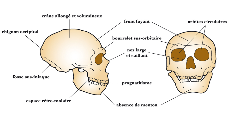 the general characteristics of fossils categorized as archaic homo sapiens Human evolution discussed by paul cooijmans the archaic homo sapiens forms lived in africa, asia often related to the place where the fossils were found, but the general descriptive term archaic homo sapiens seems to have replaced those.