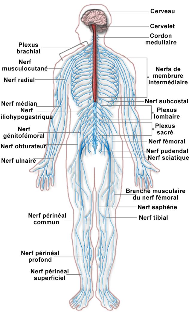 Système nerveux central (SNC) : portion du système nerveux constituée du
