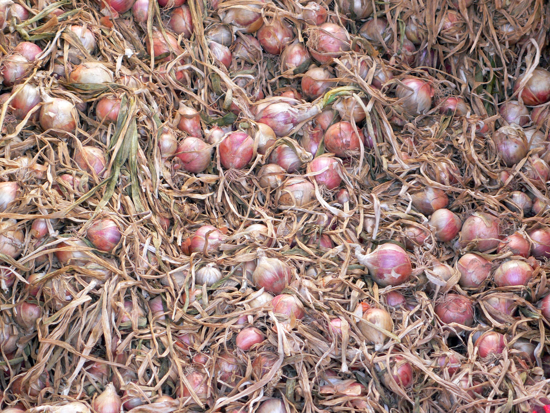 R colte des oignons - Comment conserver les oignons ...