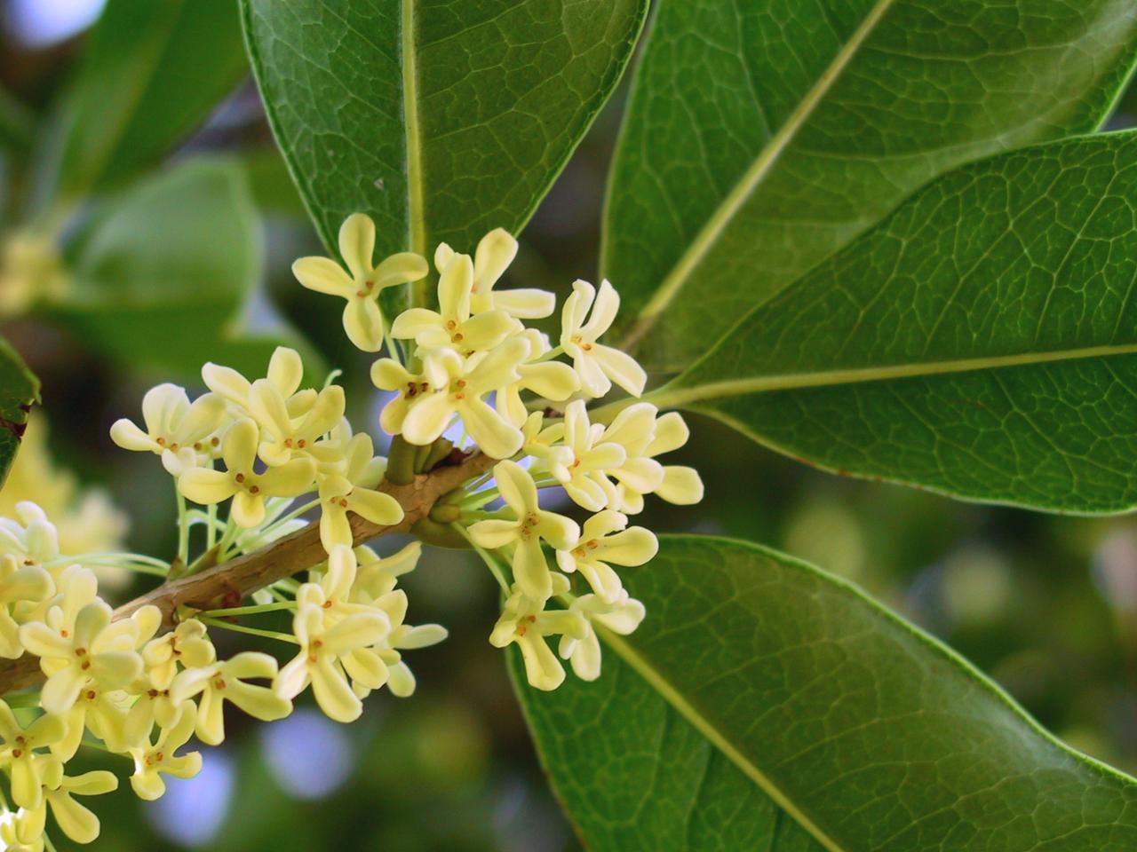 olivier odorant
