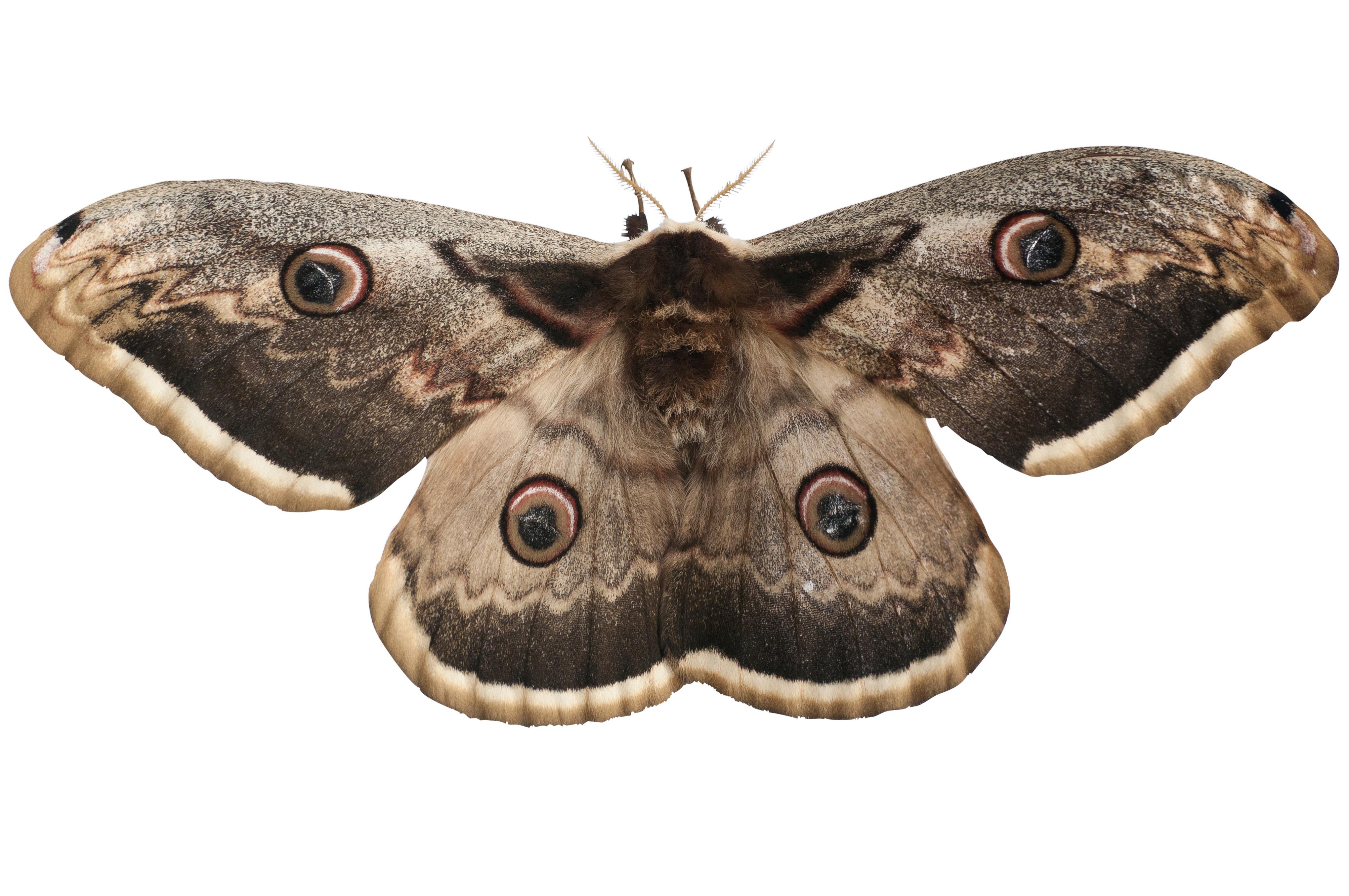Grand paon de nuit - Duree de vie papillon de nuit ...