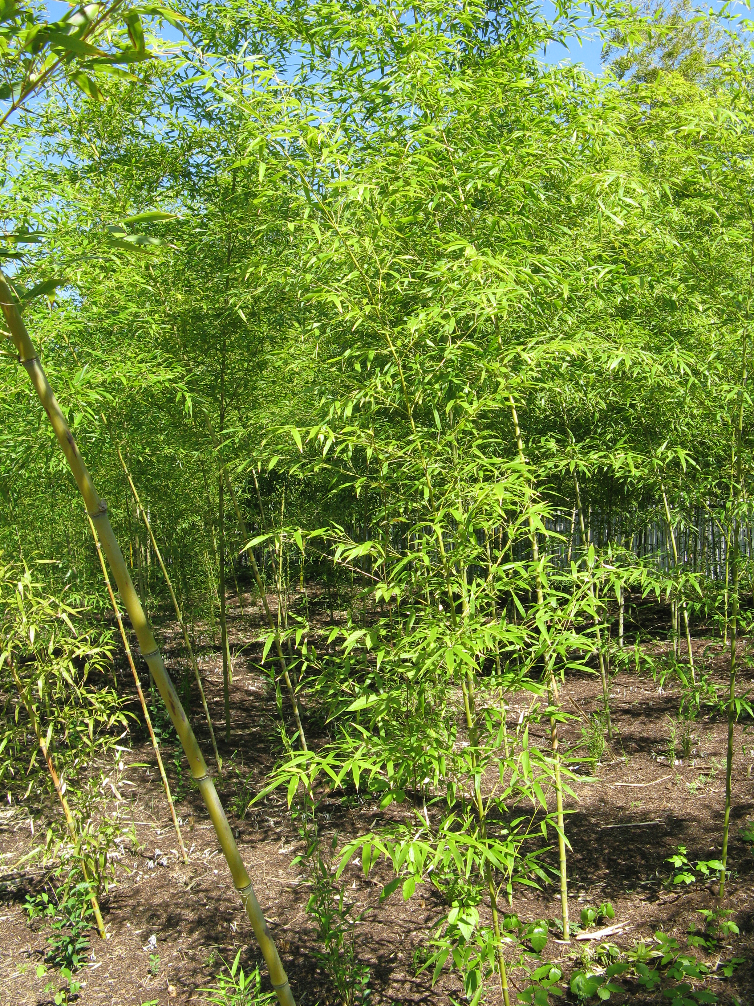 Phyllostachys aurea for Phyllostachys aurea en pot