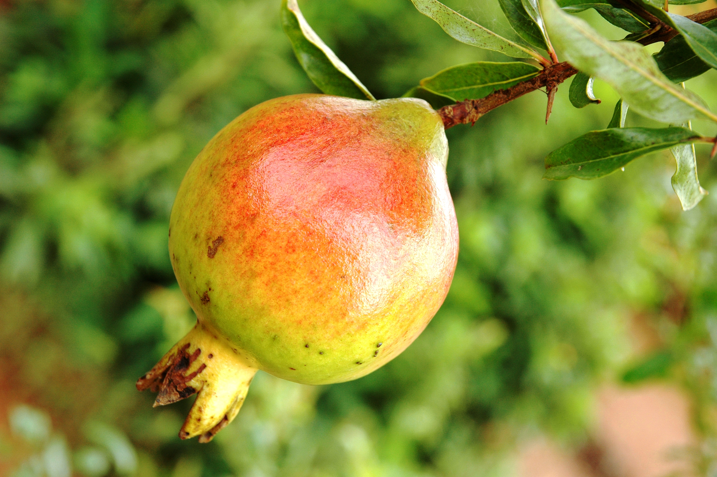 Grenade fruit - Le fruit la grenade ...