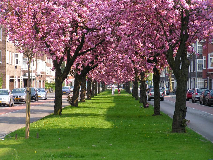 Cerisier Bois Mort : Cerisiers ornementaux