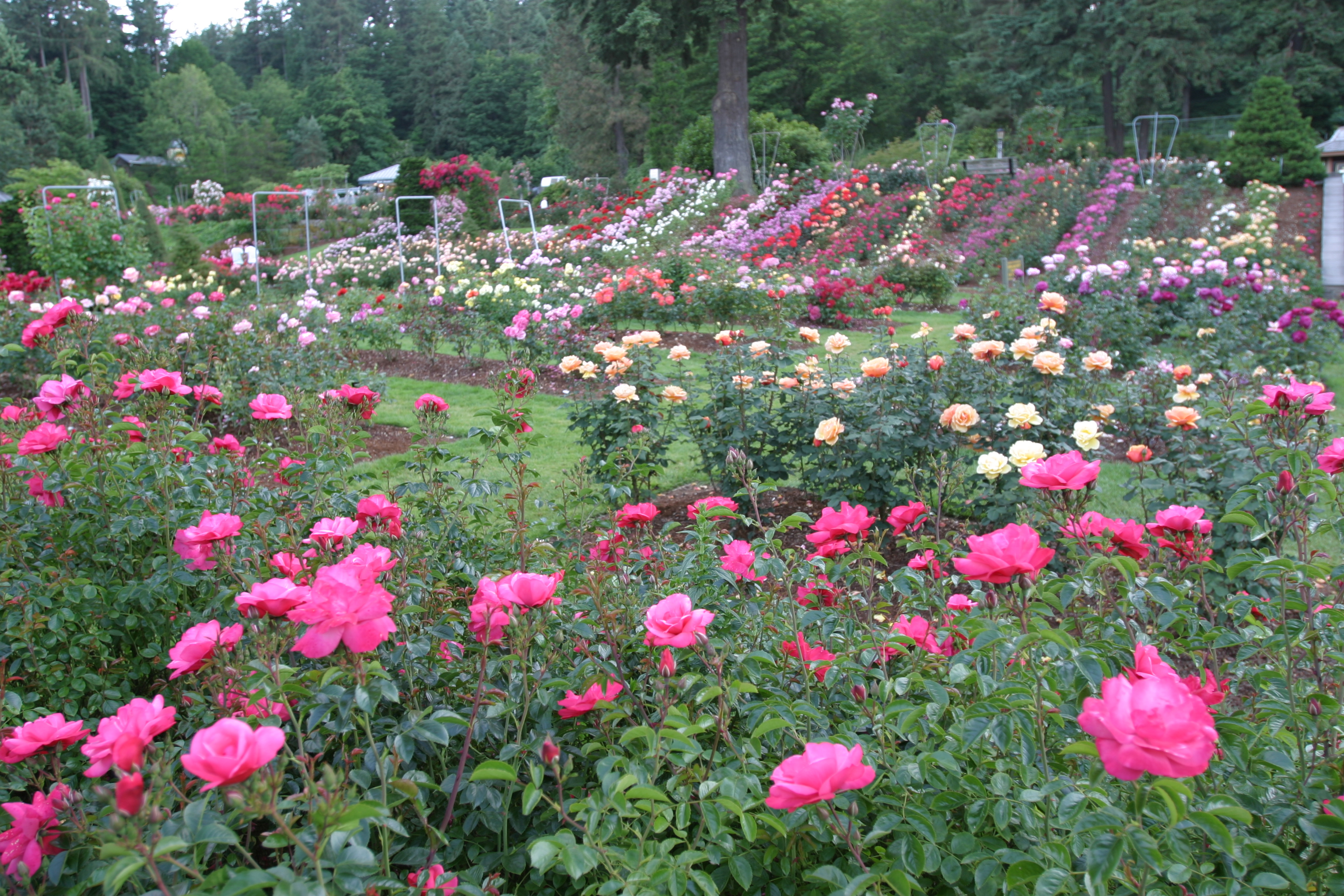 International rose test garden for Portland international rose test garden