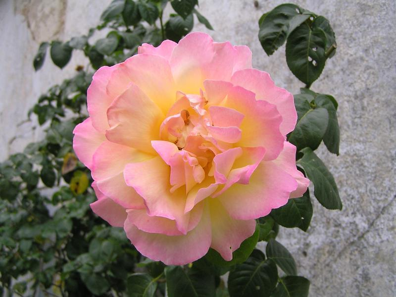 Madame a meilland rose for Rose meilland