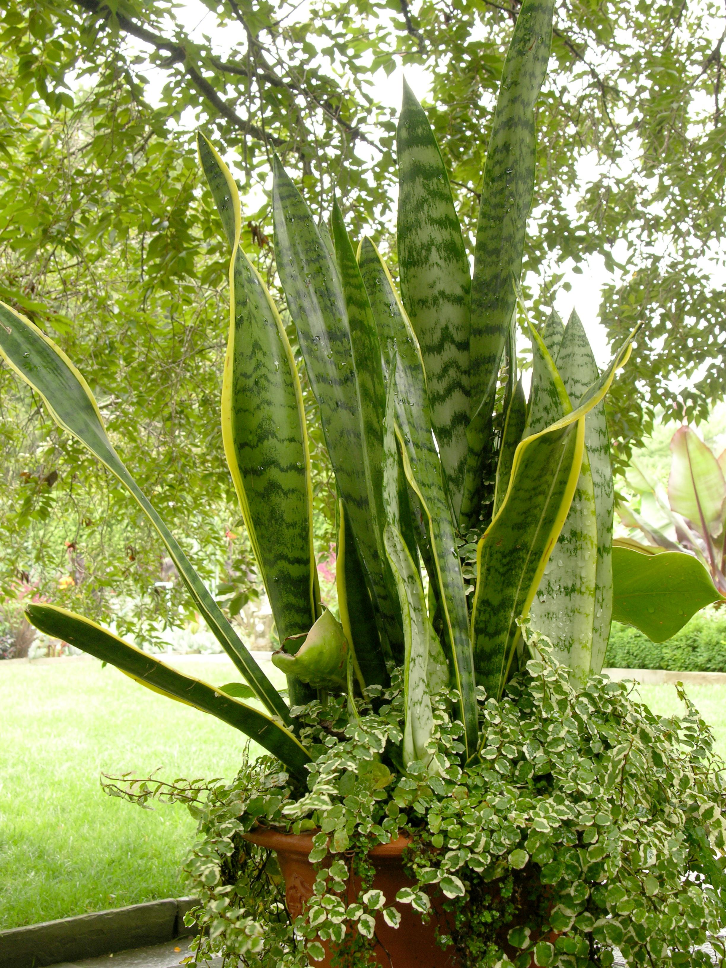 Sansevieria - Plantas de interior que necesitan poca luz ...