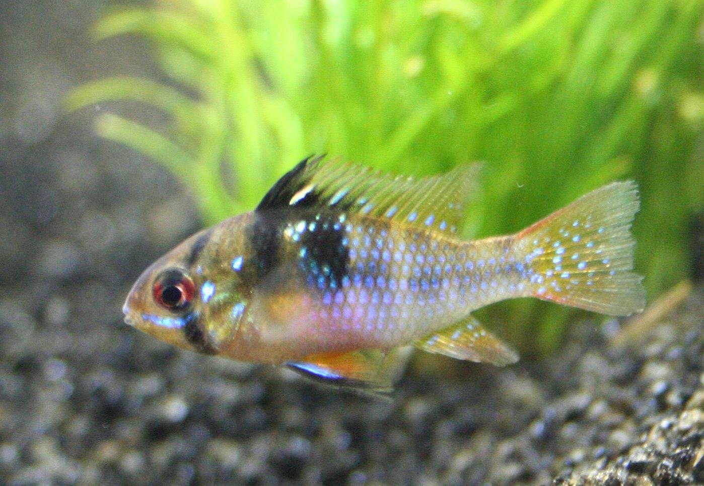 Liste de poissons d 39 aquarium d 39 eau douce - Poisson shark aquarium ...