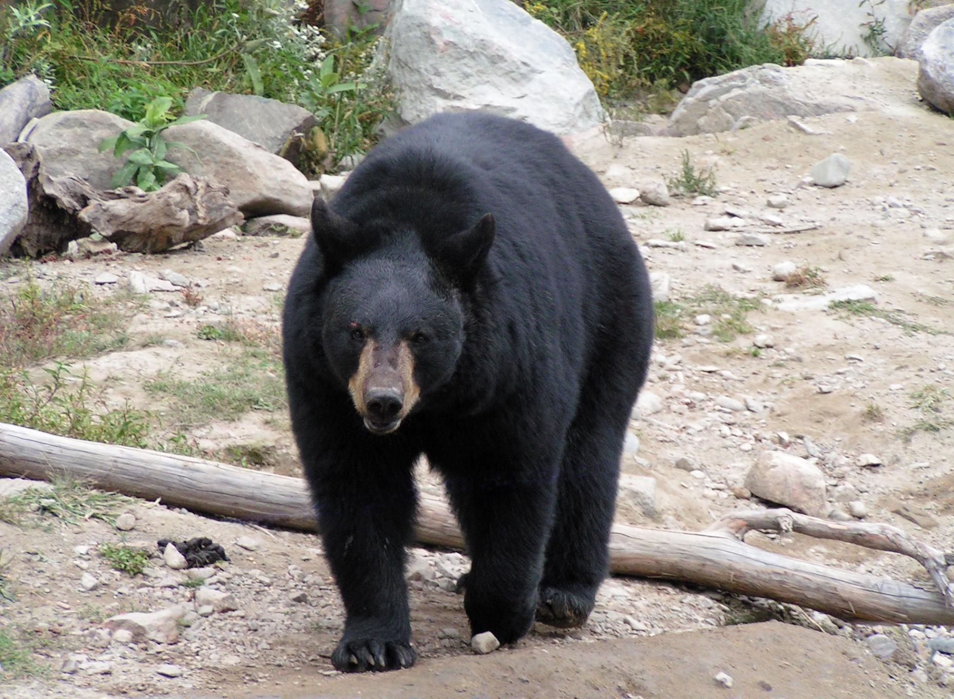 Rencontre ours noir