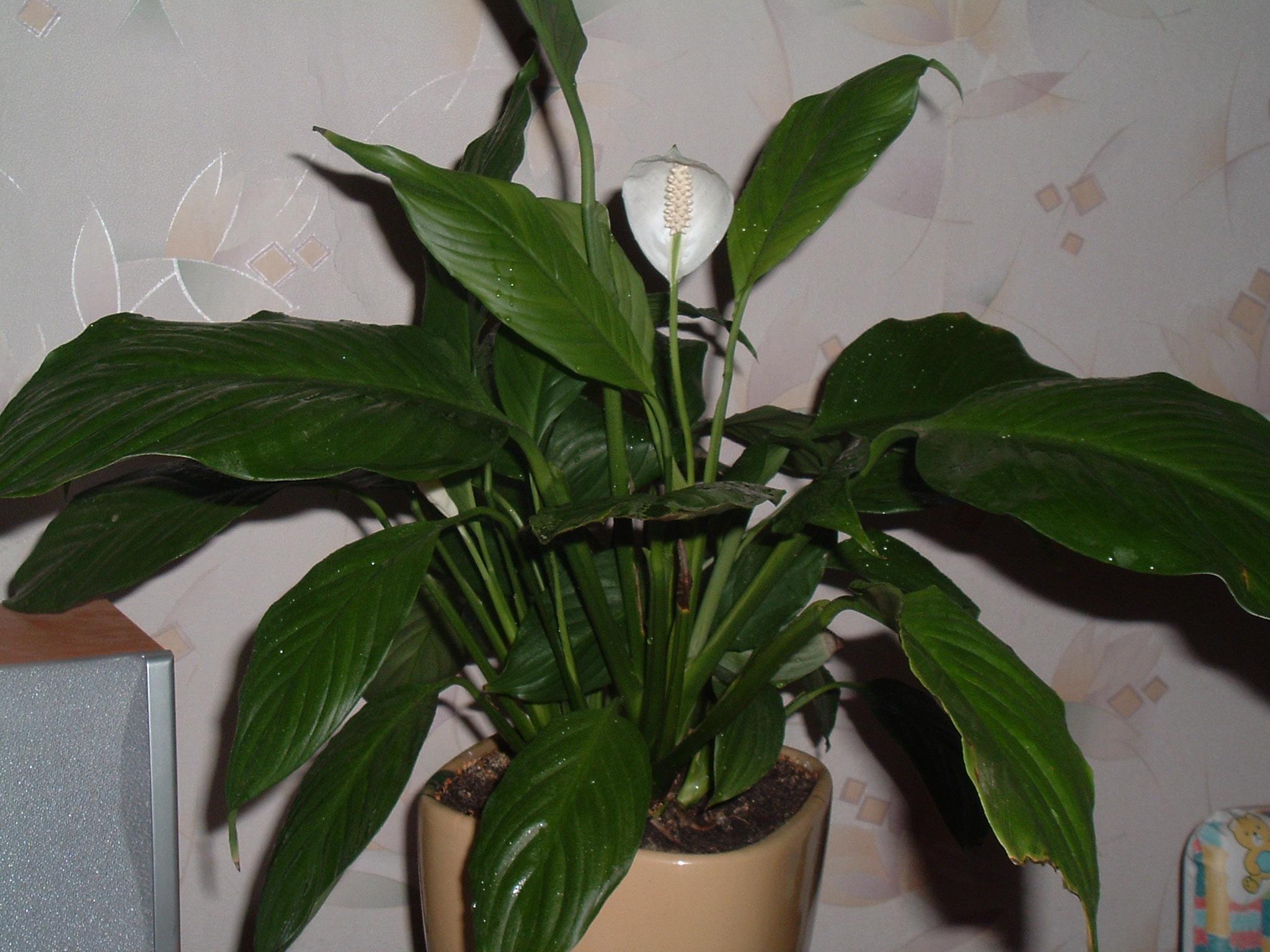 394Домашний цветок виды
