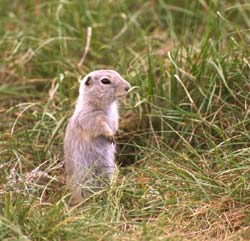 Spermophilus richardsonii