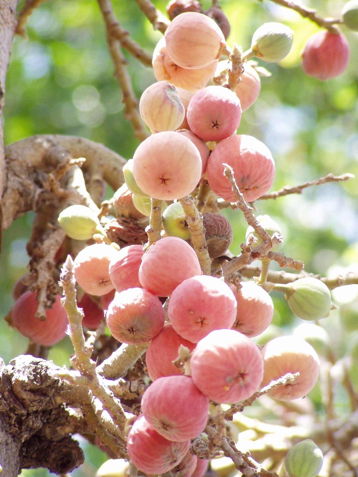 Zachée : le juste, l'incisé et la figue dans Communauté spirituelle Sycamore_fruits