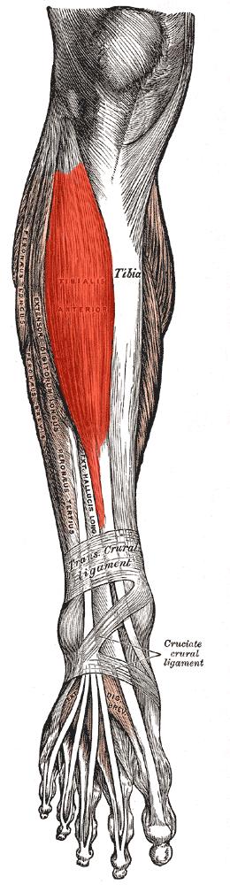 douleur jambier antérieur