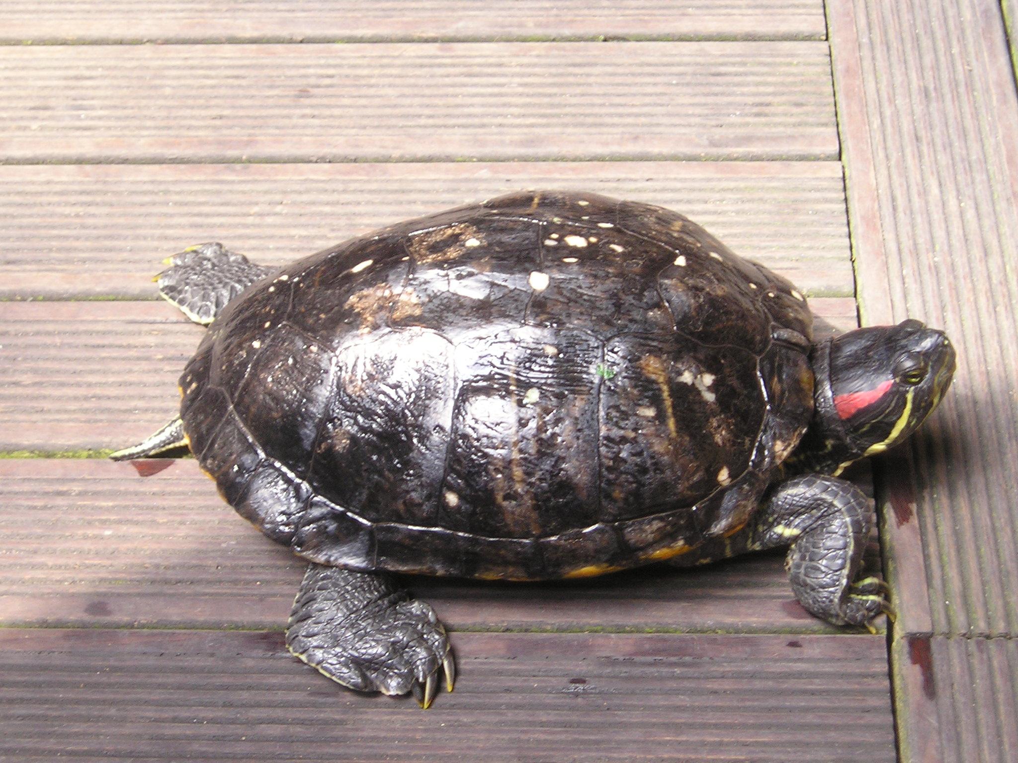 Tortue de floride - Bassin tortue floride strasbourg ...
