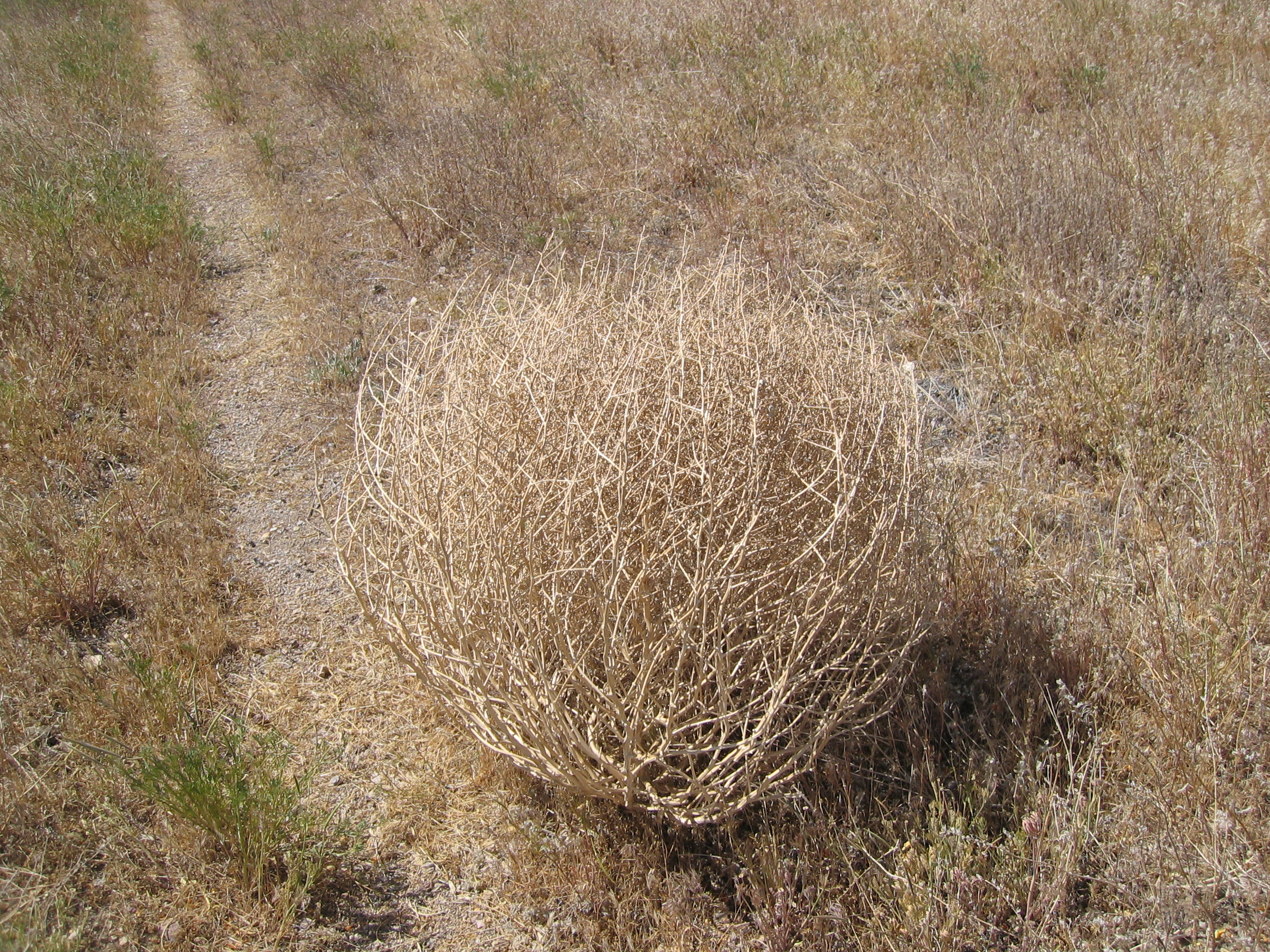tumble weed blowing wind foundation tumble weed