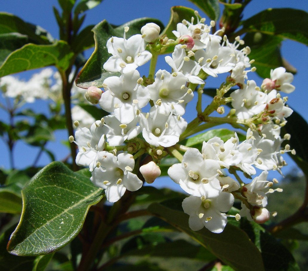 Viburnum for Laurier tin gwenllian