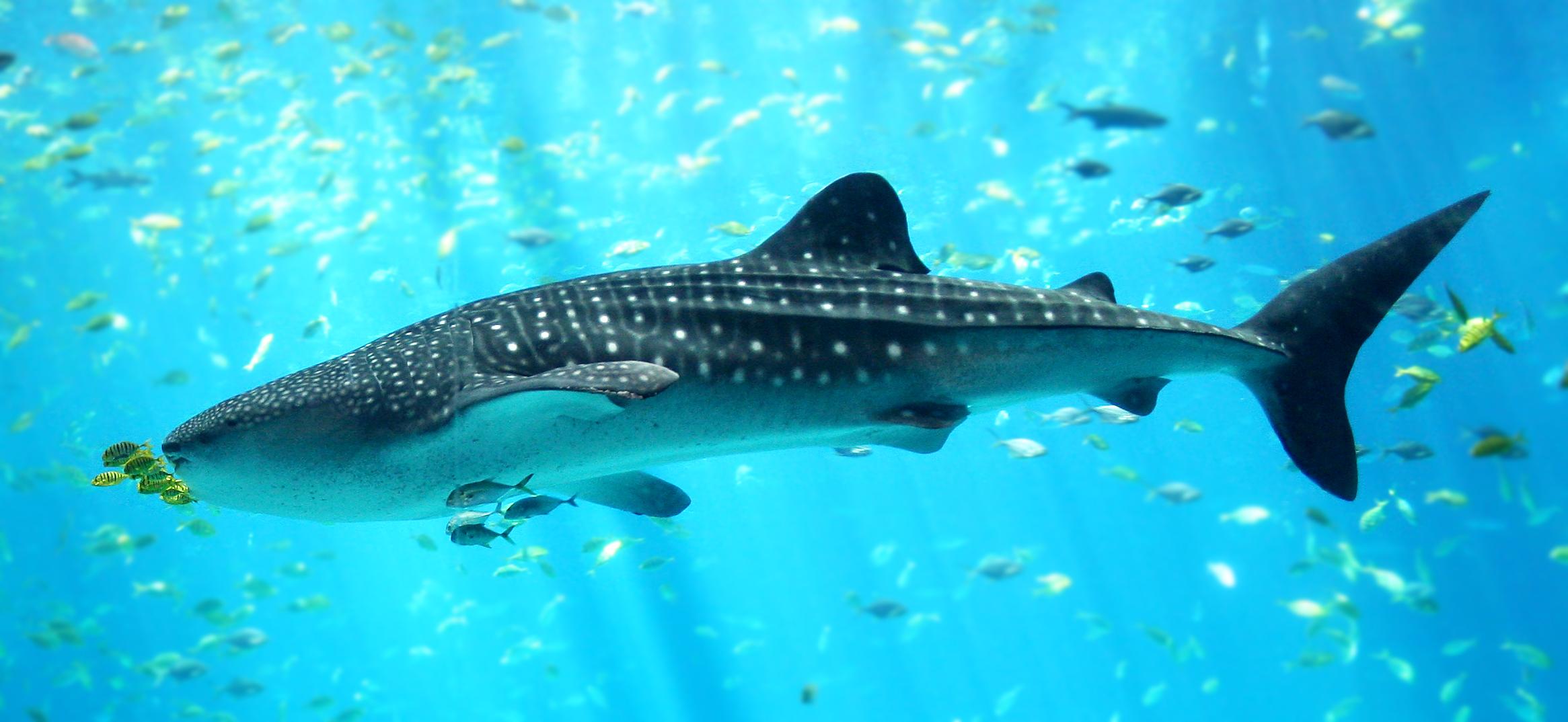 Poisson - Poisson shark aquarium ...