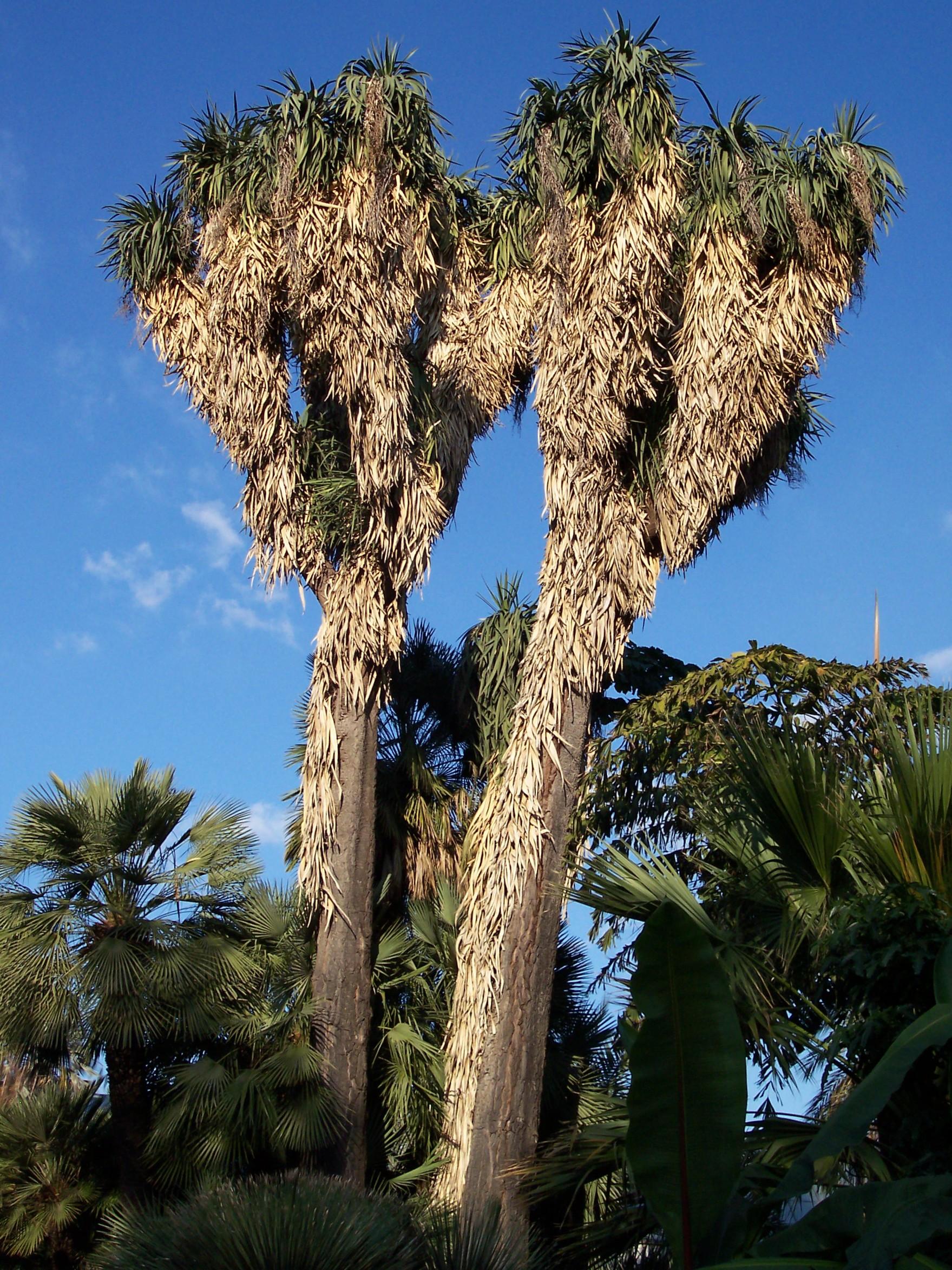 Yucca filifera for Jardin olbius riquier