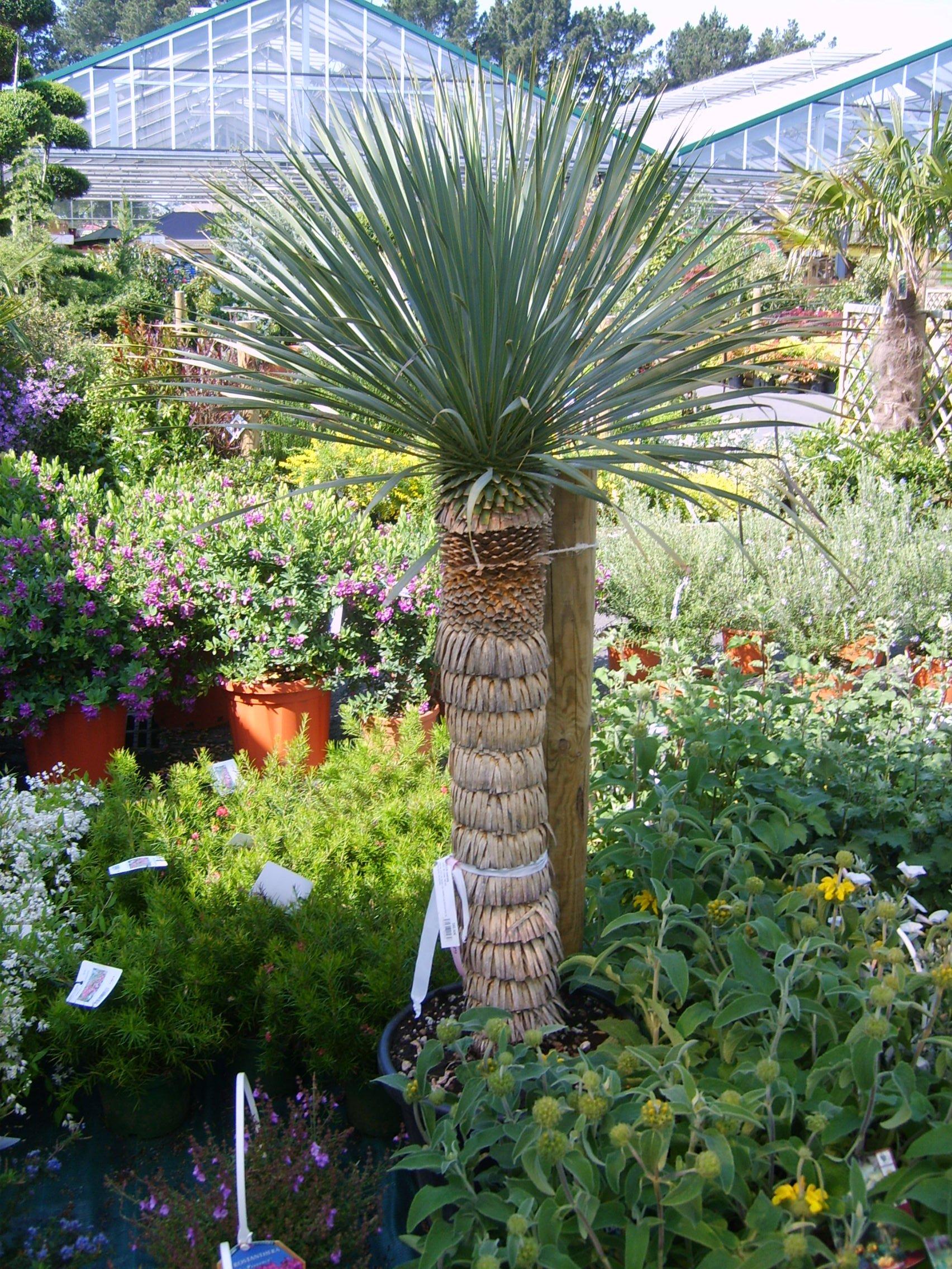 Yucca rostrata for Vive le jardin ales